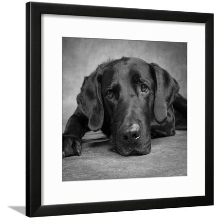 Portrait of a Labrador Great Dane Mixed Dog Framed Print Wall