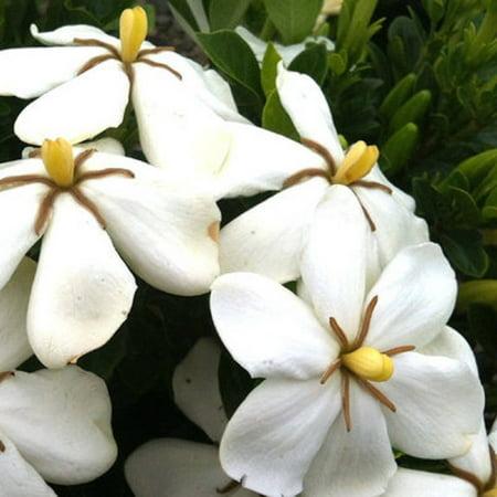 Hardy Daisy Gardenia | Live Evergreen Shrub - White Fragrant
