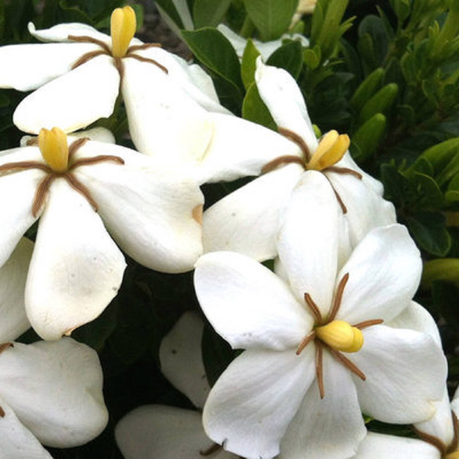 Hardy Daisy Gardenia, Fragrant White Blooming Shrub