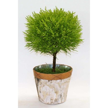 Cypress Topiary (Lemon Cypress Goldcrest Topiary Tree in Birch Tin)