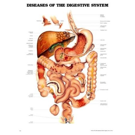 Diseases of the Digestive System Anatomical