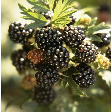 "Marion Blackberry-Raspberry Hybrid Plant - Heavy Yield - 2.5"" Pot"