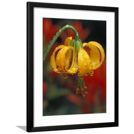 Columbia Tiger Lily, Stampede Pass, Cascade Mountains, Washington, USA Framed Print Wall Art By Darrell Gulin