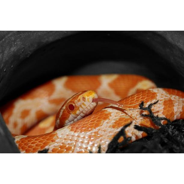 Peel N Stick Poster Of Orange Yellow Corn Snake Pantherophis Snake Poster 24x16 Adhesive Sticker Poster Print Walmart Com Walmart Com