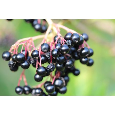 Canvas Print Black Elderberry Bush Lilac Berries Fruits Elder Stretched Canvas 10 x 14