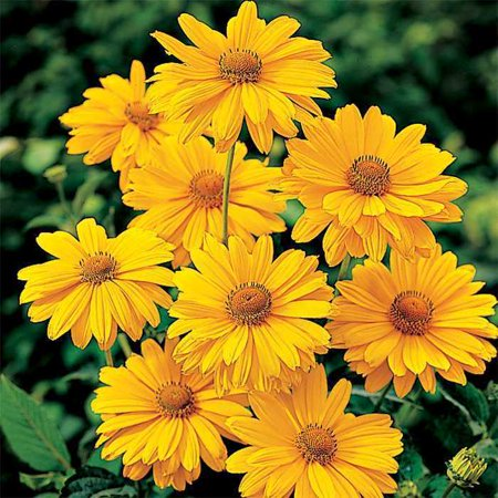 Image of Better Homes 2.5qt Heliopsis Dbl Snstrk