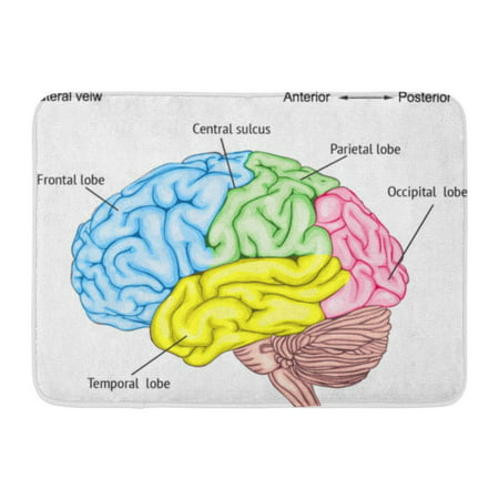 GODPOK Function Anatomy of The Human Brain Areas Cerebral Cortex Central Nervous System Location Convolutions Rug Doormat Bath Mat 23.6x15.7