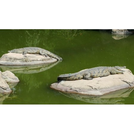 Crocodile Rock - Canvas Print Crocodile Lazy Day Crocodiles On Rocks Stretched Canvas 10 x 14