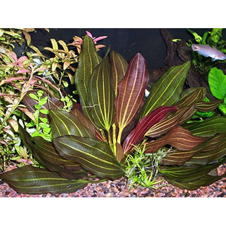 Tropical Plates (Potted Melon Sword - Beginner Tropical Live Aquarium)