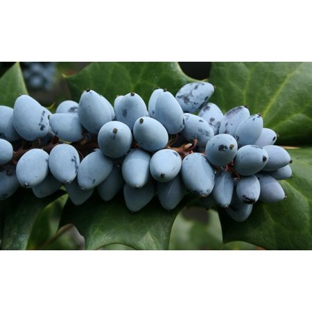LAMINATED POSTER Berries Purple Grape Holly Bitter Sour Ripe Poster Print 24 x 36 - Purple Sour