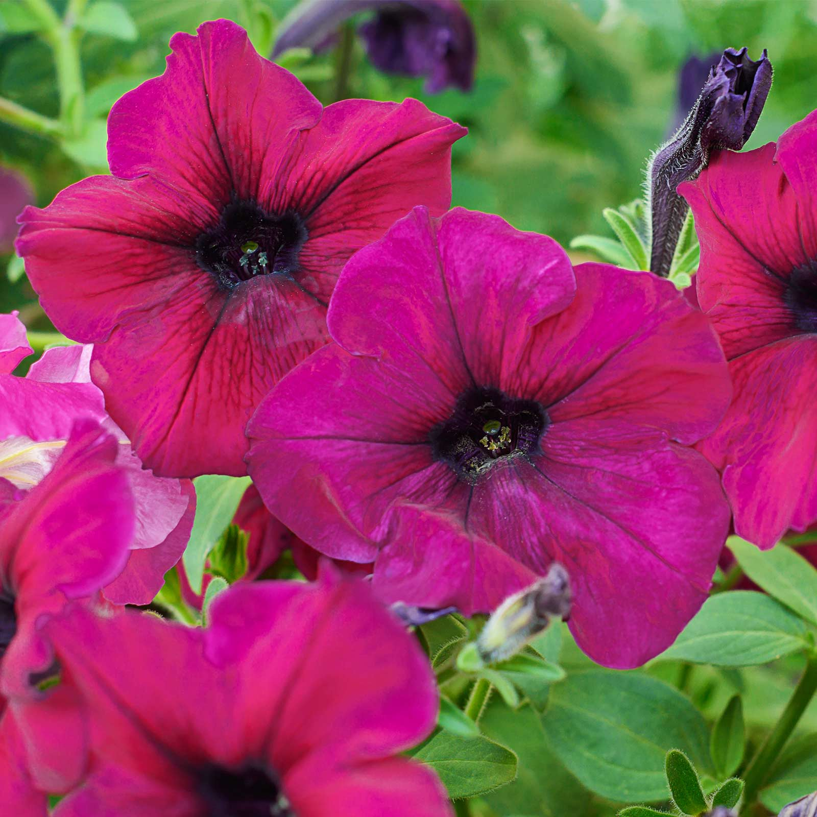 Petunia - Madness Series Flower Garden Seed - 1000 Pelleted Seeds - Burgundy Star Blooms - Annual Flowers - Single Floribunda Petunias