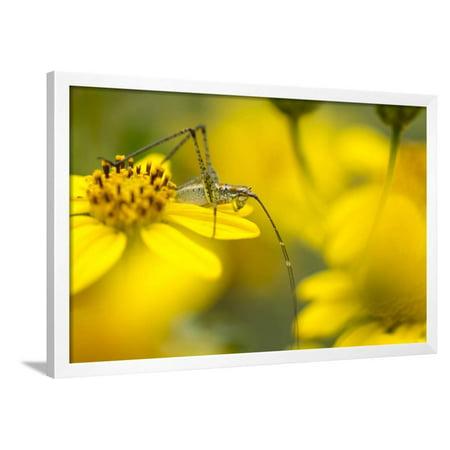 Bush Katydid on San Diego Sunflower, Los Angeles, California Framed ...