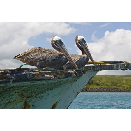 Two Pelicans (Pelecanus Occidentalis) On A Derelict Boat In The Harbor San Cristobal Galapagos Islands Ecuador Canvas Art - Robert Brown  Design Pics (19 x