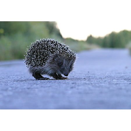Canvas Print Animal Little Pedestrian Hedgehog View Barb Road Stretched Canvas 32 x (24 Hedgehog)