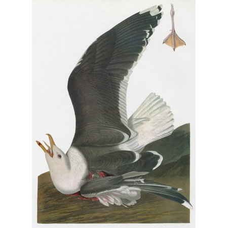 Audubon Gull Ngreat Or Greater Black Backed Gull  Larus Marinus  Engraving After John James Audubon For His Birds Of America 1827 38 Rolled Canvas Art     24 X 36