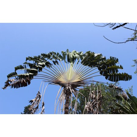 Laminated Poster Palm Tree Palm Leaf Tropical Exotic Palm Plant Poster Print 24 x - Palm Tree Leaf Balloons