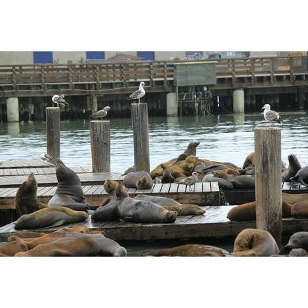 Canvas Print Bay Sea Lions San Francisco California Stretched Canvas 10 x