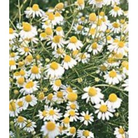 Chamomile German Great Garden Herb By Seed Kingdom BULK 40,000 Seeds ()