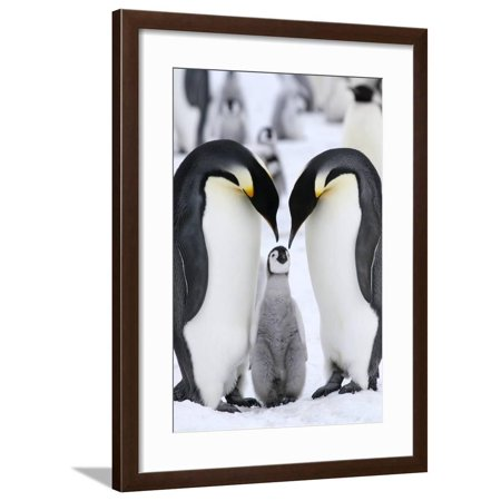 Emperor Penguins (Aptenodytes Forsteri) Framed Print Wall Art By Gentoo - Multimedia Wall