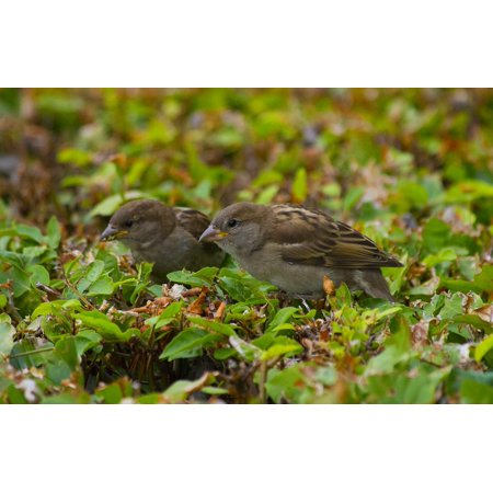 Laminated Poster Birds Love Couple Eating Cute Nature Poster Print 11 x 17](Cute Couple Accessories)