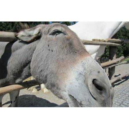 Donkey Head (Canvas Print Head Zoo Ungulate Donkey Stretched Canvas 10 x)