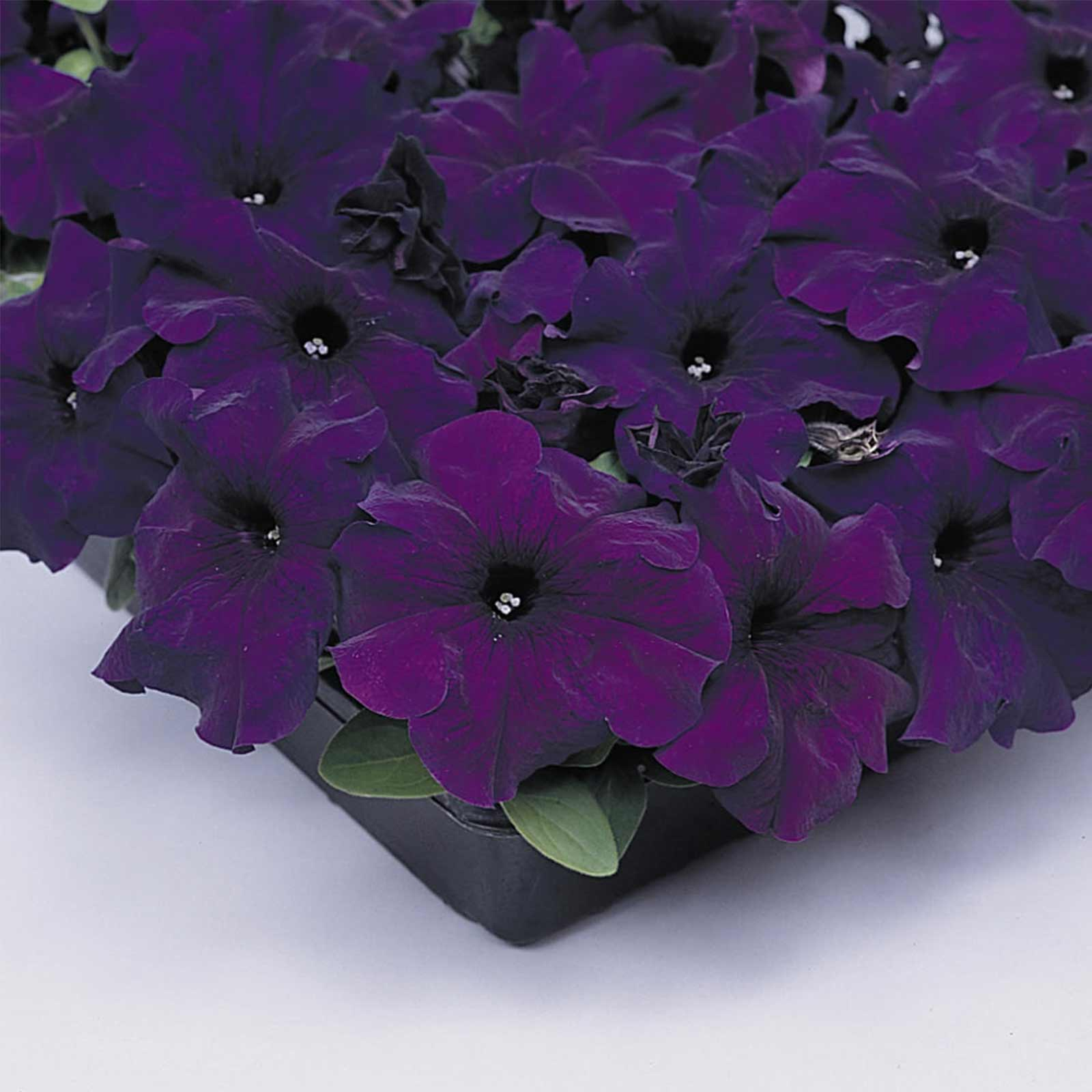 Petunia - Supercascade Series Flower Garden Seed - 1000 Pelleted Seeds - Blush Color Blooms - Annual Flowers - Single Grandiflora Petunias