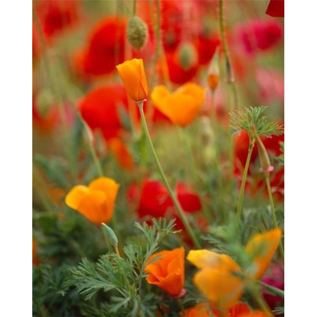 Panoramic Images PPI99491 California Golden Poppies & Corn Poppies Washington State Poster Print by Panoramic Images, 12 x 16 - image 1 of 1