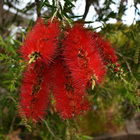 Banksia Flower - Canvas Print Flora Flower Plant Banksia Australian Native Bush Stretched Canvas 10 x 14