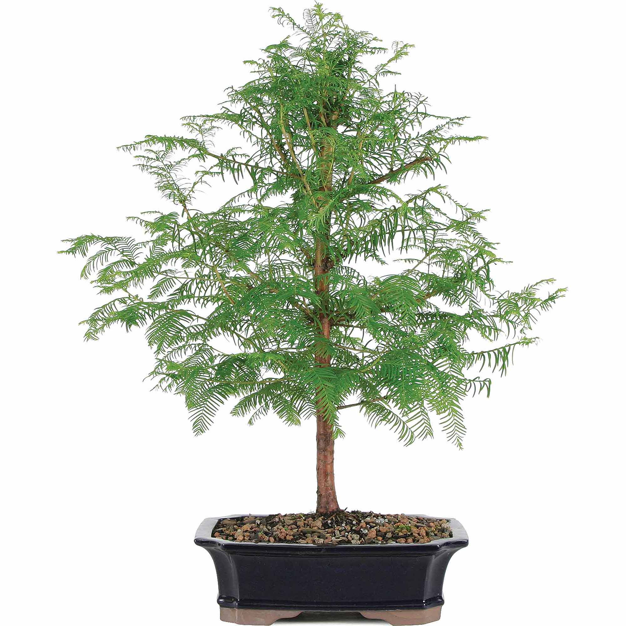Brussel's Dawn Redwood Bonsai - X Large - (Outdoor)
