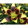 Euroblooms Lily Asiatic Easy Dance, 6 Flower Bulbs