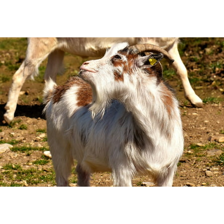 LAMINATED POSTER Horns Pasture Meadow Billy Goat Goat Goatee Funny Poster Print 24 x 36