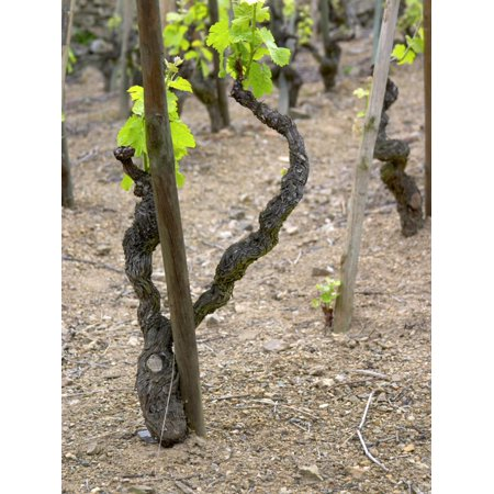 Vineyards in the Cote Rotie District, Ampuis, Rhone, France Print Wall Art By Per Karlsson