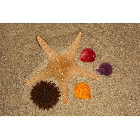 Starfish, urchin and shells in the sand on beach, Florida. Print Wall Art By Adam