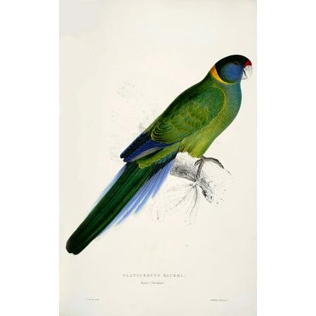 Psittacidae 1832 Bauers Parakeet Canvas Art   Edward Lear  18 X 24