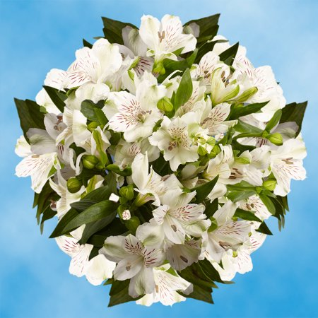 GlobalRose 240 Blooms of White Fancy Alstroemerias 60 Stems - Peruvian Lily Fresh Flowers for (Alstroemeria Flowers)