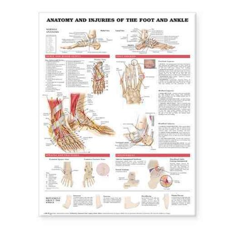 Anatomy And Injuries Of The Foot And Ankle Walmart