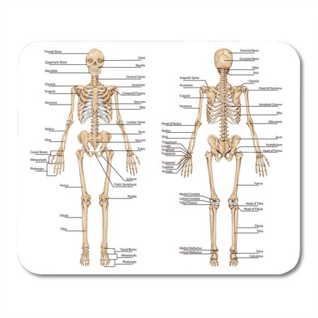 KDAGR Human Skeleton from The Posterior and Anterior View Didactic Board of Anatomy Bony System Mousepad Mouse Pad Mouse Mat 9x10 (Mouse Anatomy)