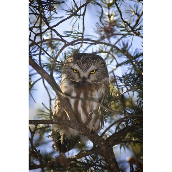 Saw Whet Owl Poster Print, 11 x 17 - image 1 de 1