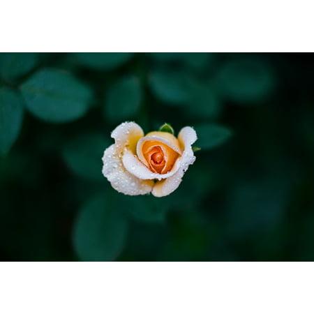 Love 24 Roses (LAMINATED POSTER Petals Gift Green Flower White Roses Love Orange Poster Print 24 x 36)