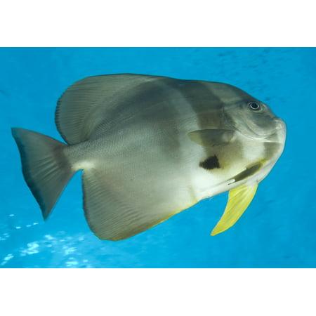 Longfin Spadefish Fathers Reef Kimbe Bay Papua New Guinea Poster Print