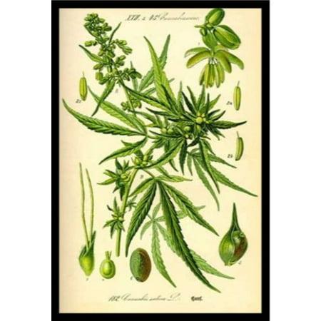 FRAMED Cannabis Sativa Botanical Illustration 36x24 Art Print Poster ...