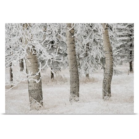Great Big Canvas Philippe Widling Poster Print Entitled White Aspens In Winter  Calgary  Alberta  Canada
