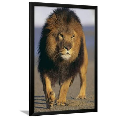 lion walking on sand framed print wall art by dlillc walmart com