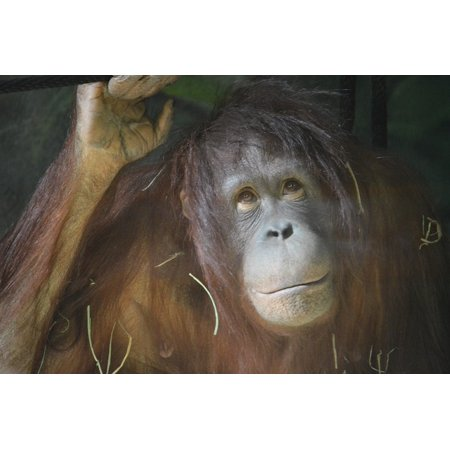 Rainforest Animal Pictures - Laminated Poster Rainforest Orangutang Zoo Monkey Jungle Animal Poster Print 11 x 17