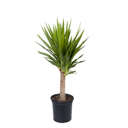 Green Yucca Plant (Delray Plants Yucca Cane (Yucca guatemalensis) Easy to Grow Live House Plant, 10-inch Black Grower's Pot)