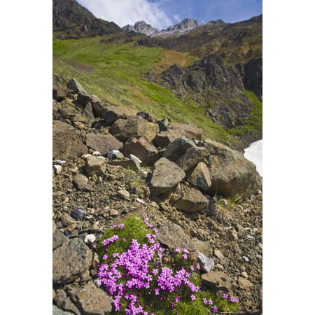 Scenic View Of Moss Campion Wildflowers Growing Above Root Glacier In Wrangell Stelias National Park Alaska Posterprint