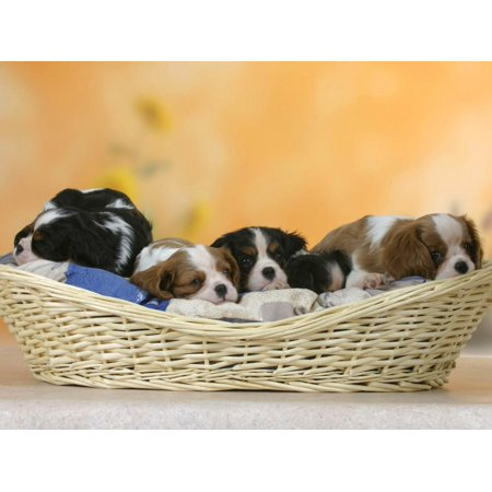 Domestic Dogs, Five Cavalier King Charles Spaniel Puppies, 7 Weeks Old, Sleeping in Basket Print Wall Art By Petra (Miniature King Charles Spaniel Puppies For Sale)