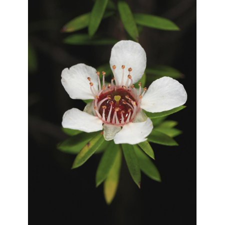 A Manuka or Tea Tree Flower (Leptospermum Scoparium) Print Wall Art By Eric Tourneret
