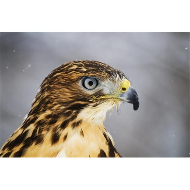 Posterazzi DPI12304730 Red-Tailed Hawk Buteo Jamaicensis Ecomuseum - Ste-Anne-De-Bellevue Quebec Canada Poster Print by Steeve Marcoux, 19 x 12 - image 1 of 1