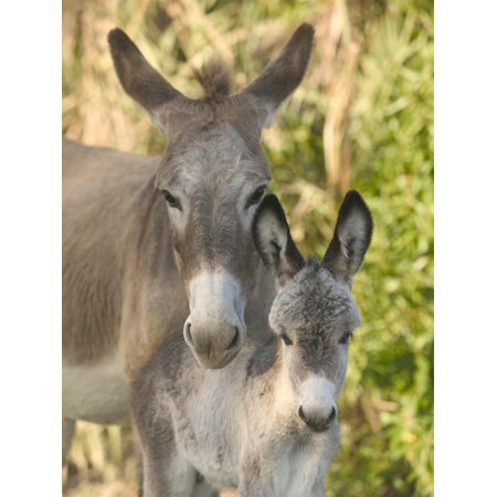 Mother and Baby Donkeys on Salt Cay Island, Turks and Caicos, Caribbean Print Wall Art By Walter